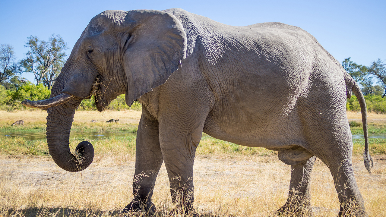 Dick elephant Elephant cock